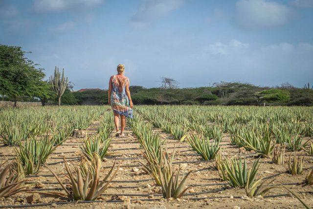 Aruba Urlaub ABC Inseln Aloe Vera Farm