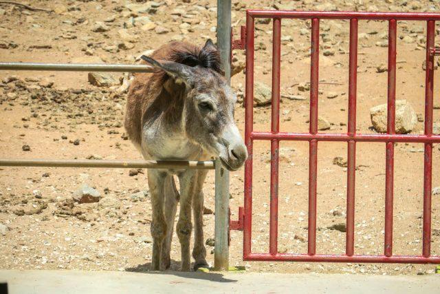 Aruba Urlaub ABC Inseln Donkey Sanctuary Esel