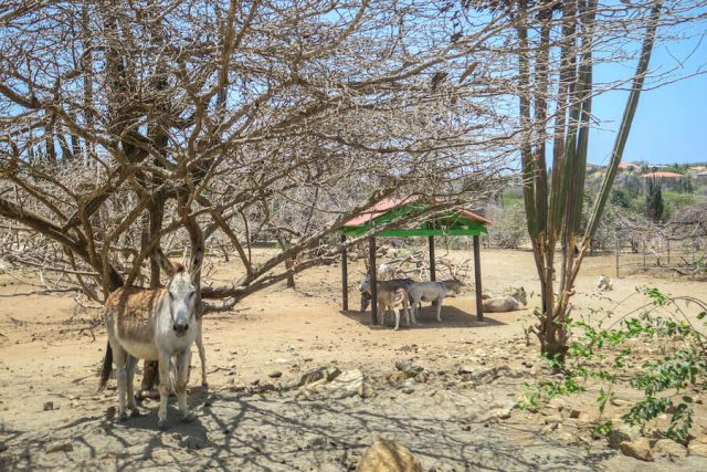 Aruba Urlaub ABC Inseln Donkey Sanctuary