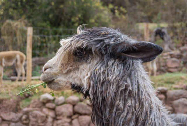 Peru Reisen Lama Alpaka Farm-2