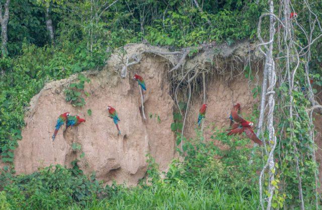 Peru Reisen Puerto Maldonado Amazonas Aras