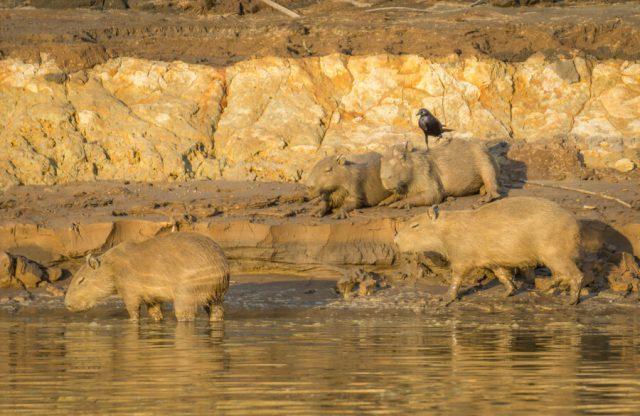Peru Reisen Puerto Maldonado Amazonas Wasserschweine