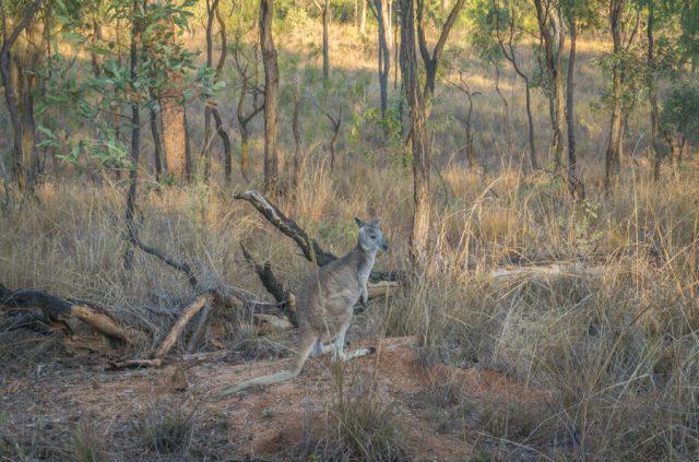 Atherton Tablelands Undara Experience Kaenguru