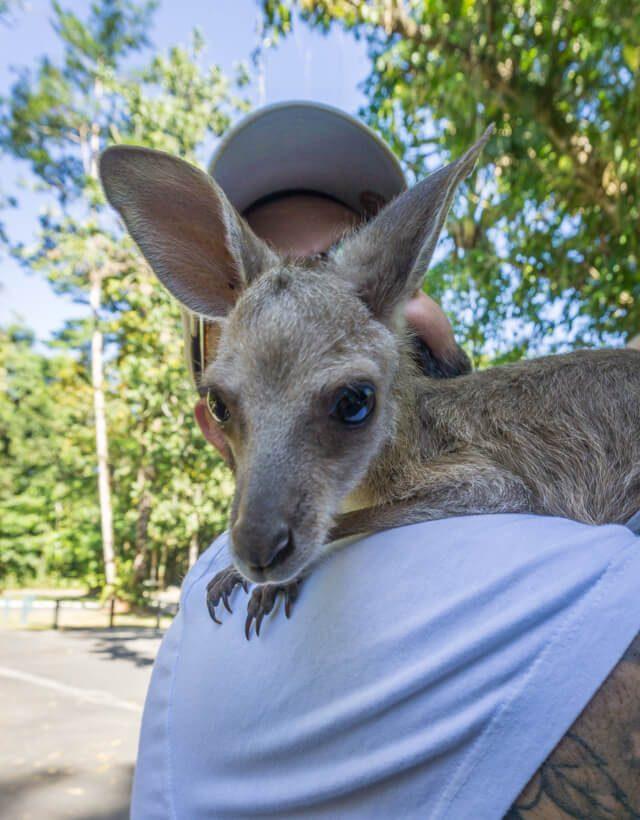 Mission Beach Cairns Australien Babinda Boulders Kaenguru