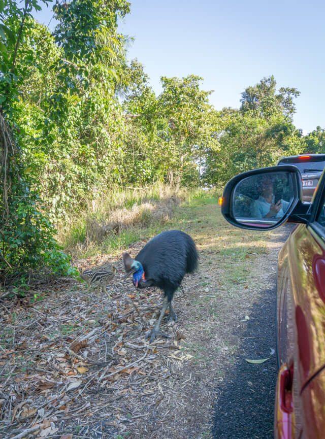 Mission Beach Cassowary