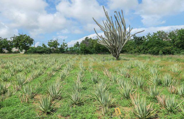 Curacao Urlaub Karibik niederlaendische Antillen Aloe Vera Plantage
