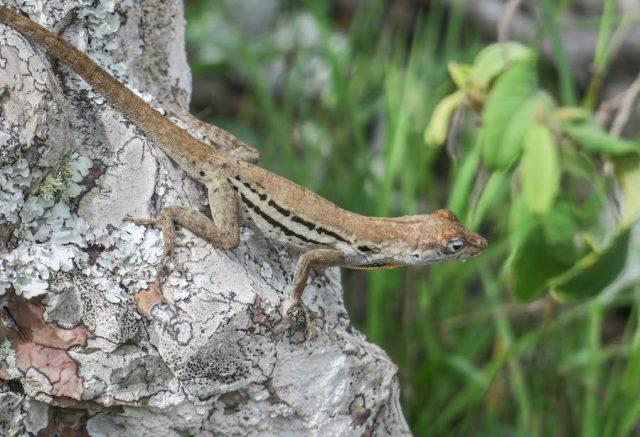 Curacao Urlaub Karibik niederlaendische Antillen Christoffelberg Wanderung Eidechse