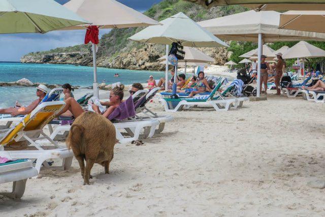 Curacao Urlaub Karibik niederlaendische Antillen Playa Porto Mari Schweine
