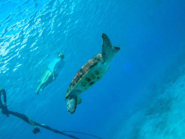 Curacao Urlaub Karibik niederlaendische Antillen Schnorcheln Schildkroeten