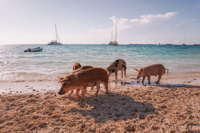 Bahamas Exumas Yacht Charter Pig Beach-2