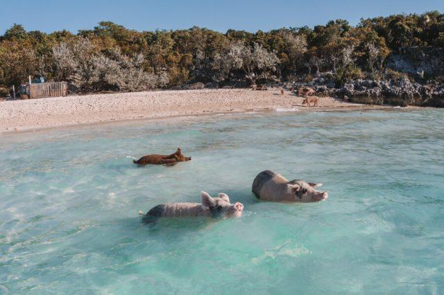 Bahamas Exumas Yacht Charter Pig Beach Big Majors Spot