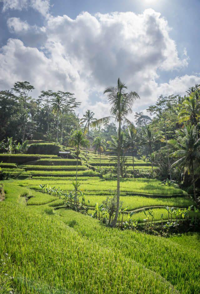 Bali Sehenswuerdigkeiten Ubud Tegallalang Reisterrassen