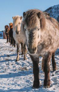 Pferde Lofoten Gimsoy