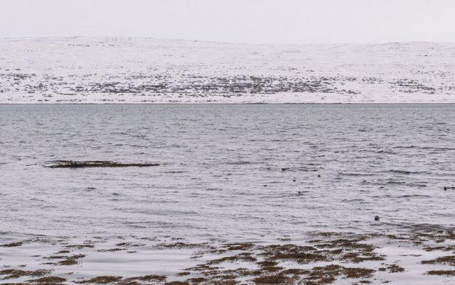 Island Westfjords Seehunde