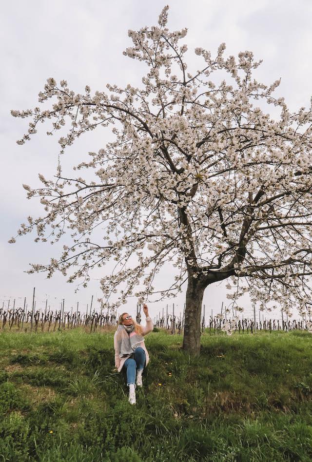 Kirschbluete Pfalz Ausflugsziele
