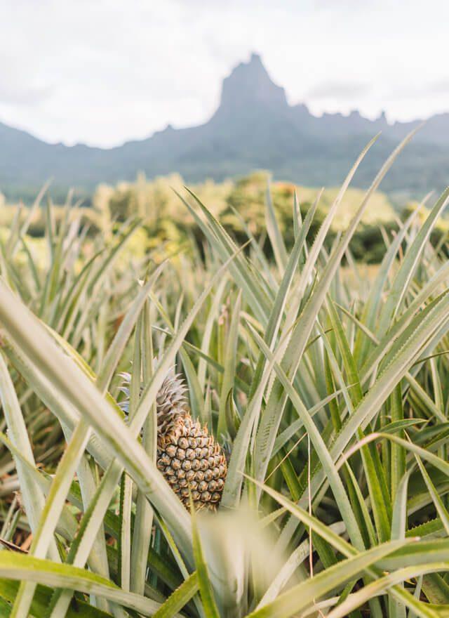 Moorea Ananas Plantagen Suedsee