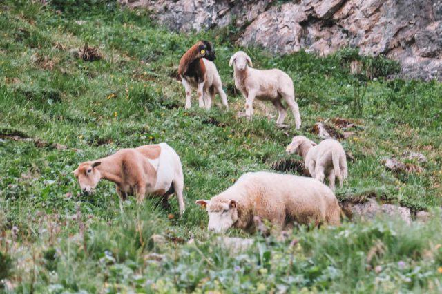 Schafe Tirol