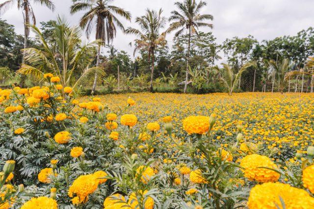 Bali Sehenswuerdigkeiten Munduk Marigold Feld