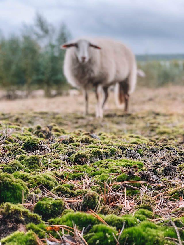 Limburg Schaf
