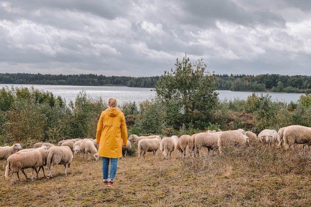 Limburg Schafe hueten