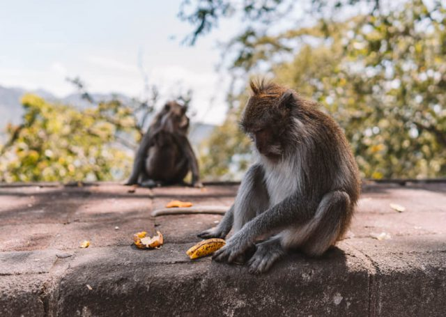 Munduk Affen Bali