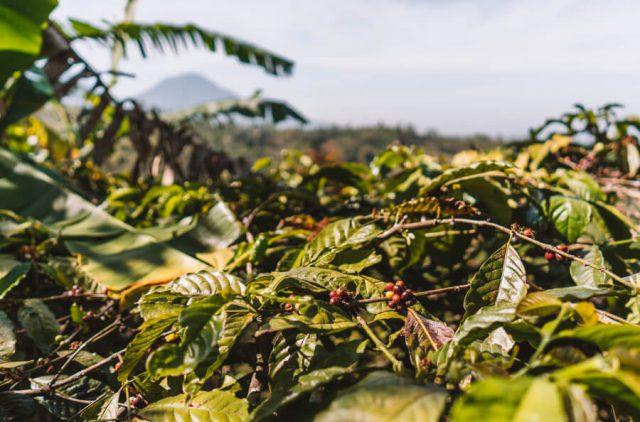 Munduk Bali Kaffeeplantage