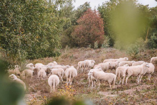 Schafe Maasdruinen Nationalpark