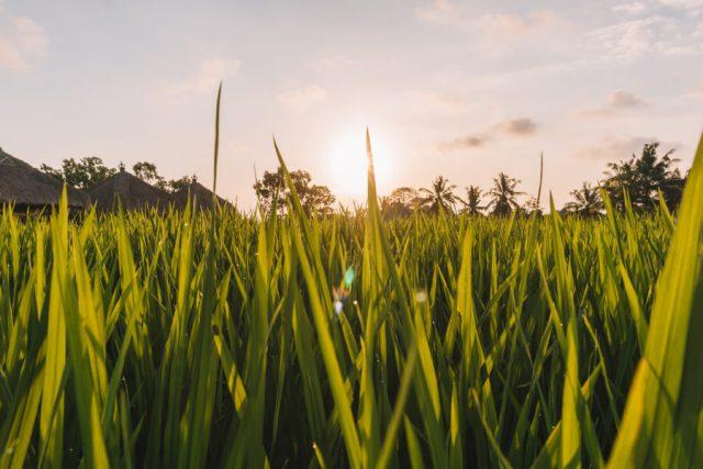 Sonnenuntergang Reisfelder