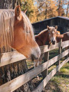 Jenesien Haflinger Pferde