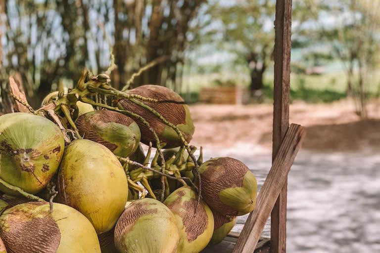 Karibik Kokosnuesse
