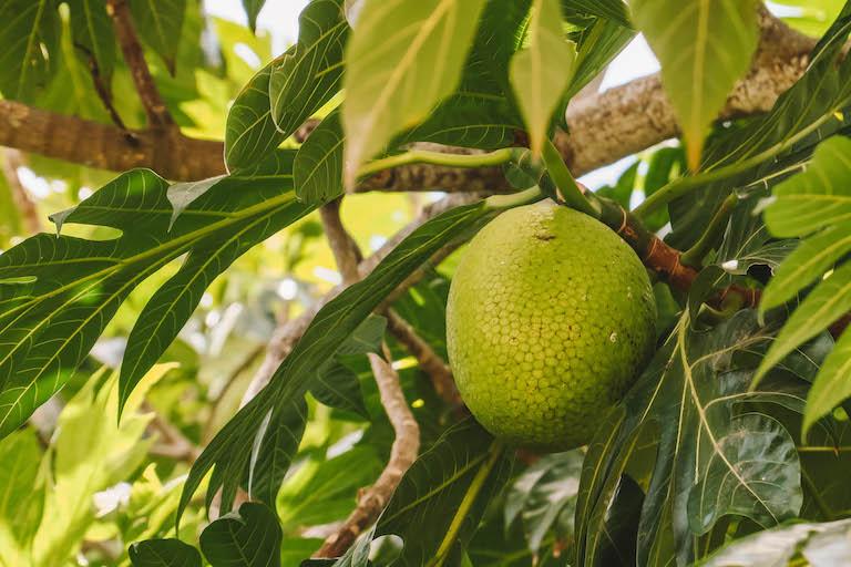 Karibische Kueche Brotfrucht Baum