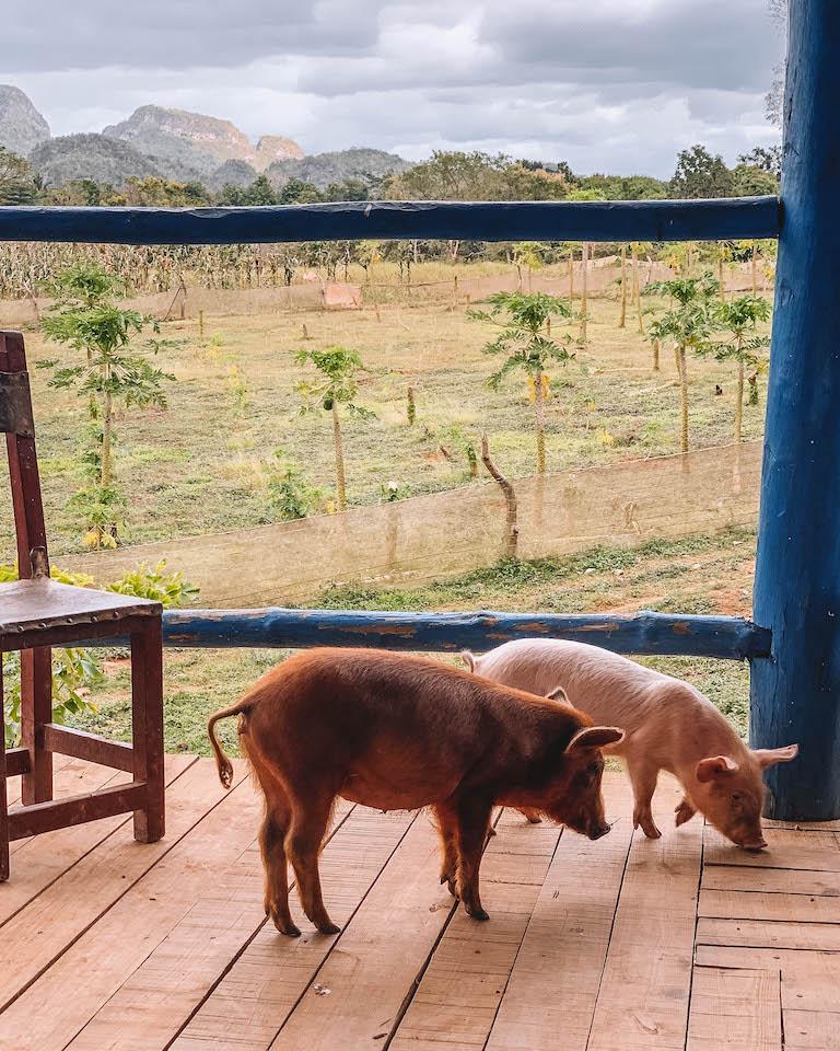 Kuba Farm Schweine