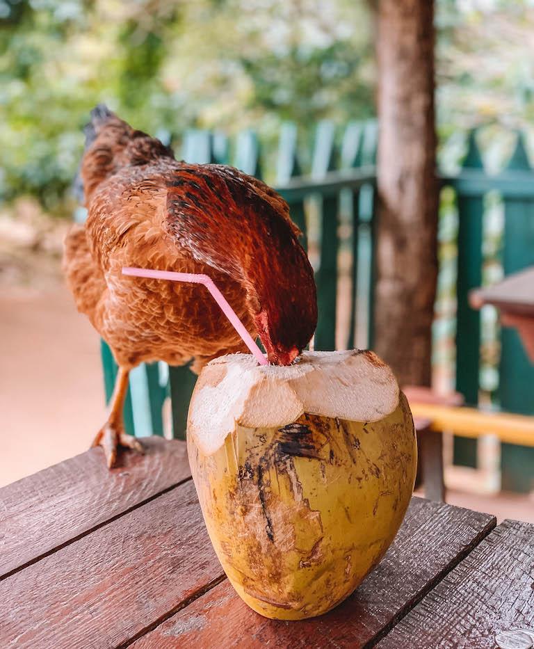 Kuba Huhn Kokosnuss