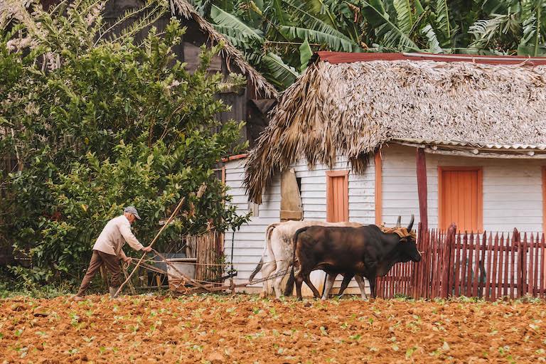 Kuba Kuehe