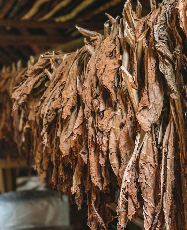 Kuba Tabak Trocknung