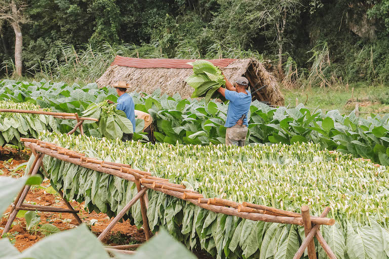 Kuba Tabakernte