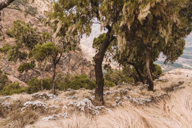 Bartflechten am Heidekrautbaum