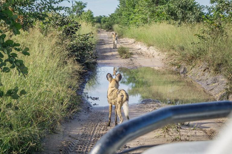 Botswana Moremi Wildreservat Wild Dogs