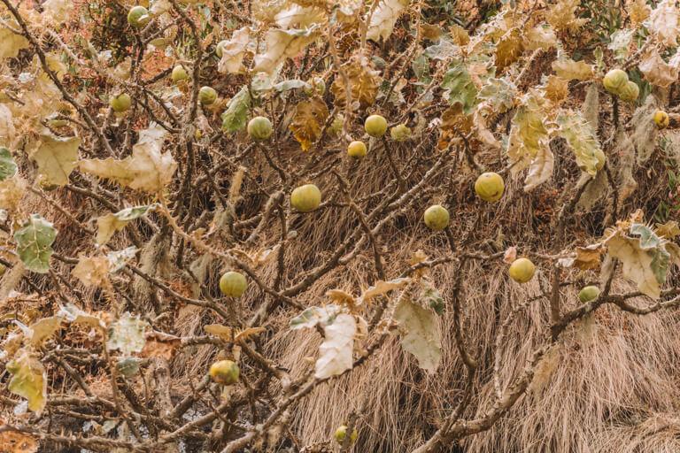 Frucht Stachel