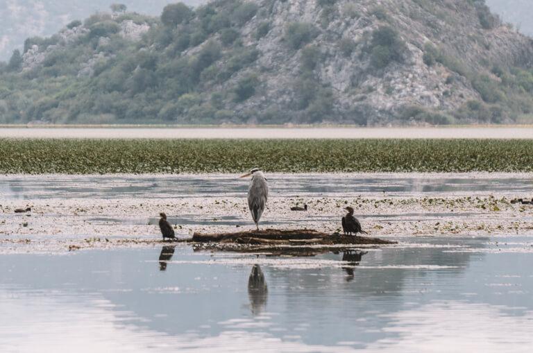 Skadarsko Jezero Reiher