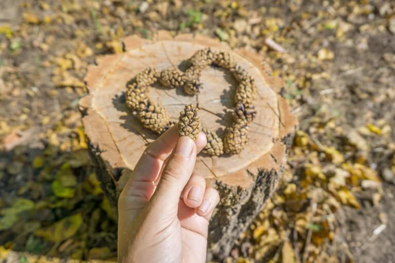 Herbst Tannenzapfen