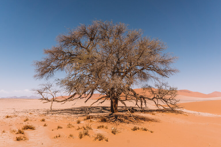 Namib Wueste Kameldornbaum