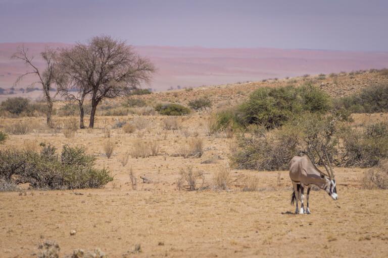 Namib Wueste Oryx