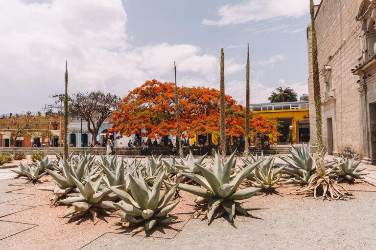 Oaxaca Mexiko Kakteen Templo Santo Domingo