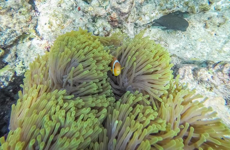 Schnorcheln Clownfisch