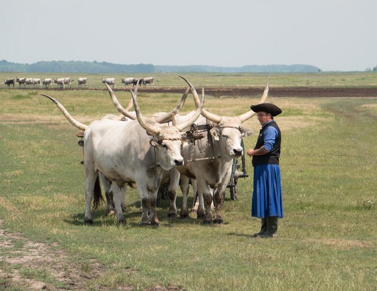 Ungarn Puszta Hortobagyi Nationalpark Graurinder