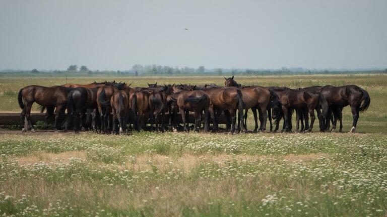 Ungarn Puszta Hortobagyi Nationalpark Noniuspferde
