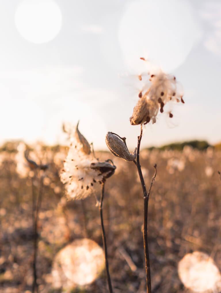 Ungarn Puszta Seidenpflanze