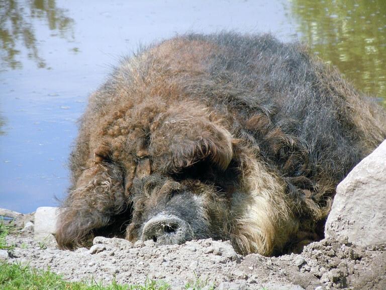 Wollschwein Puszta Mangalica Ungarn