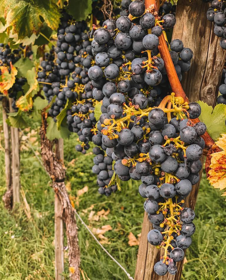 Wein Bodensee